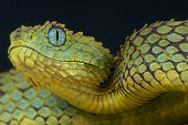 picture of nocturnal animal  - The Bush viper is a medium sized - JPG