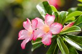 stock photo of desert-rose  - Desert Rose or Impala Lily or Mock Azalea flower in the garden - JPG