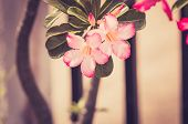 stock photo of desert-rose  - Desert Rose or Impala Lily or Mock Azalea flower in the garden vintage