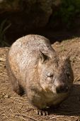 Mature Hairy-Nosed Wombat