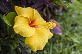 picture of hibiscus  - Close up Hibiscus flower  - JPG