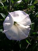 stock photo of moon-flower  - A large white moon flower plant with green leaves - JPG