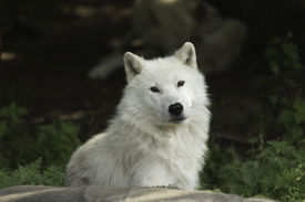 pic of horrific  - Arctic Wolves in a forested environment playing or resting - JPG
