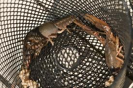 pic of crawdads  - These are trap captured Procambarus acutissimus  - JPG
