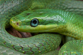 picture of green snake  - The emerald rat snake is a beautiful - JPG