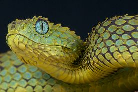 pic of green snake  - The Bush viper is a medium sized - JPG