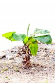 picture of banana tree  - banana tree on ground isolated on white background - JPG