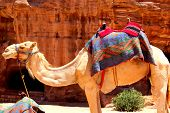 picture of camel  - Camel with Bedouin saddle in the Middle East - JPG