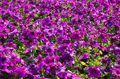 picture of petunia  - Park of petunia flora beautiful and fresh - JPG