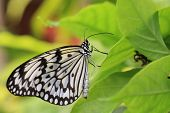 pic of butterfly  - Large Tree Nymphs butterfly and green leaf - JPG