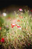 image of opium  - Opium poppy flower at angkhang mountain Thailand  - JPG