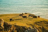 stock photo of sea cow  - Cows grazing in a field with the best view - JPG