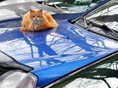 pic of homeless  - The city homeless red fluffy cat sits on the case of the blue car in a parking - JPG