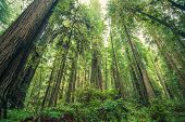 stock photo of redwood forest  - Giant Redwoods Forest Northern California United States - JPG