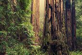 picture of redwood forest  - Thousands of Years Old Redwood Trees in California Redwood Forest - JPG