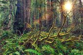 picture of redwood forest  - Redwood Scenic Rainforest of American Northwest - JPG