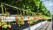 stock photo of cultivation  - Closeup of hydroponic cultivated strawberry plants in the large glasshouse of a specialised nursery in the Netherlands - JPG