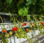 foto of horticulture  - Closeup of strawberries from hydroponically cultivated plants at a convenient picking height in a specialized Dutch greenhouse horticulture business - JPG