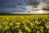 stock photo of rape-seed  - Rape seed fields at sunset with cloudy sky, Cornwall, UK [[** Note: Visible grain at 100%, best at smaller sizes ** Note: Shallow depth of field - JPG