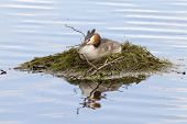 foto of grebe  - Great crested grebe sat on its nest - JPG