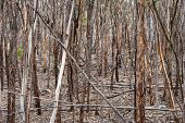 picture of fallen  - Close growing trunks of Mallet saplings with flakey bark dead and fallen trees at all angles - JPG