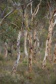 pic of eucalyptus trees  - Trunks of small Wandoo  - JPG