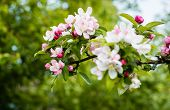 picture of bud  - Closeup of blossoms and buds of a crabapple tree in the early spring season - JPG