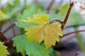 picture of grape leaf  - Grape vine leaves - JPG