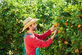 picture of orange  - Farmer man harvesting oranges in an orange tree field - JPG