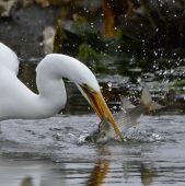 image of catching fish  - Great White Egret catching fish in South Carolina marsh  - JPG