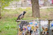stock photo of dump  - A Hooded crow is looking for food in the dump - JPG
