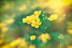 pic of buttercup  - Meadow flowers in spring  - JPG