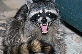picture of raccoon  - raccoon at night in woods growling with teeth - JPG