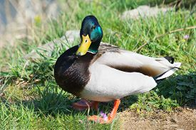 stock photo of male mallard  - One Male Mallard Duck Standing at the Sun in the Park - JPG