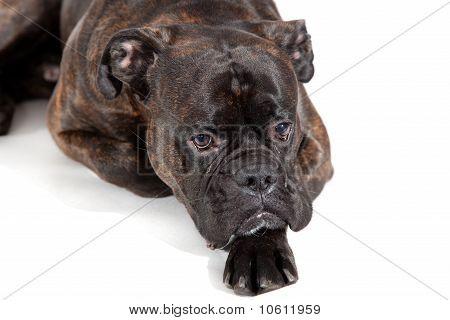 Reverse Brindle Boxer