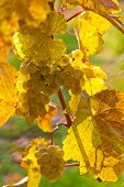 image of rebs  - Grapes in autumn on a vine in the vineyard - JPG