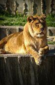 Постер, плакат: Lioness