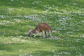 foto of quokka  - Kangaroo grazes in Berlin zoo nice daisy meadow - JPG