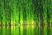 stock photo of tallgrass  - Lush green tallgrass wetlands with water reflections - JPG