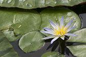 One Blue Lotus Of Egypt, Nymphaea Caerulea Waterlilies poster
