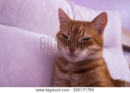 poster of Red Cat Looking Into The Camera. The Cat Is Resting On A White Pillow. Cat's Eyes. Russian Cat On A