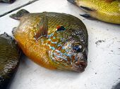 stock photo of bluegill  - A bluegill or  - JPG