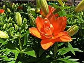 Side View, Close Up Shot Of A Blooming Orange Asiatic Lily Flower poster