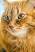 Portrait of Brown Cat, Red Tabby Male Cat, Ginger Long Hair Cat, The Fluffy Pet, Young Orange Stripe poster