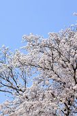 Постер, плакат: Вишня Сакура цвету
