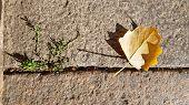 Small Fall Yellow Leaf Closeup Near Tiny Green Grass Bush On Ancient Stone Pavement Background. Summ poster