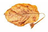 A Faded Leaf On A White Background poster