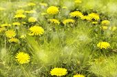 Yellow Dandelions.natural Soft Background.blooming Dandelions On Meadow. Spring Flowers Background.  poster