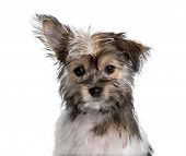 Mixed-breed , yorkshire and chihuahua, looking at camera against white background poster