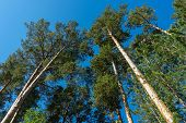 Tall Pines And Blue Sky. High Trunks Of Pines From The Ground To The Sky. Centered View With Bright  poster